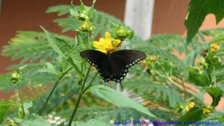 black butterfly 2