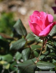 pink rose wm