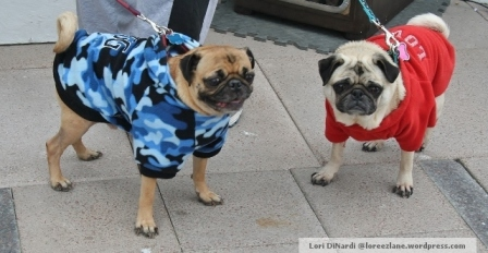 Poor pugs are even cold.
