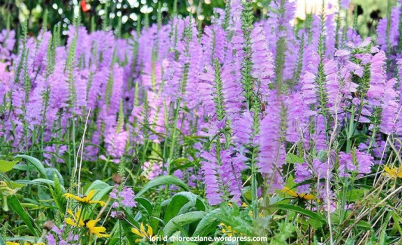purple field wm