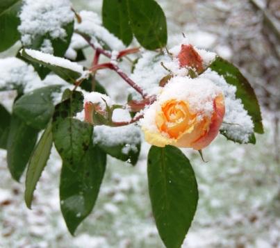 anneliflower