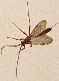 ichneumon (216x296)