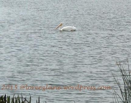 lone pelican wm