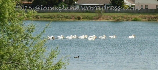 white pelicans (800x353) wm