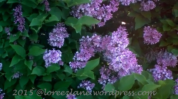 lilacs1 (800x449) wm