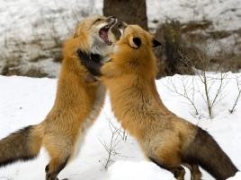 foxfightchangehall