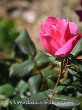 pink-rose-wm
